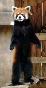 直立不動の姿を見せるレッサーパンダの「風太」(撮影・大